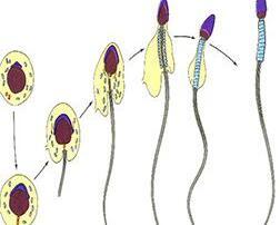 哪些原因会导致精子死亡